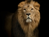 Lauvas pasargā mācītāju no ekstrēmistu uzbrukuma
